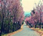 Con đường hoa Mai Anh Đào nổi tiếng tại dốc Đa Quý – Trại Mát. Ảnh: Việt Anh