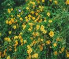 Những bông hoa dã quỳ khoe sắc rực rõ. Ảnh: Internet.